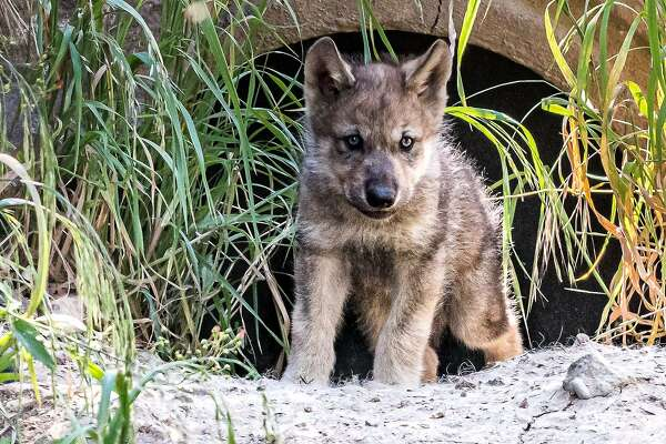 Gray Wolf Pups At Oakland Zoo Symbolize Revival For California