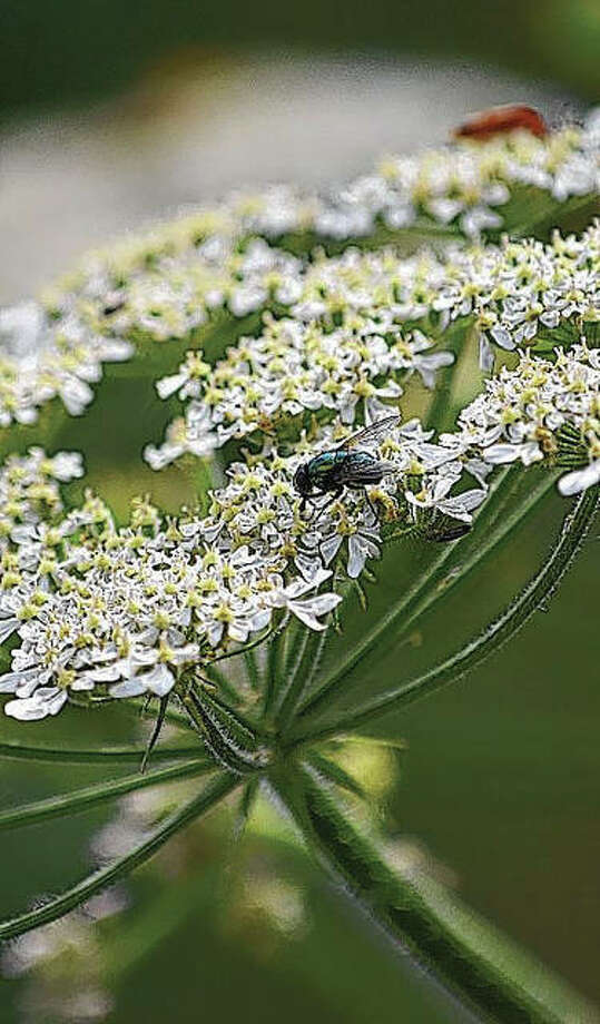 The lacy white poison hemlock plant is toxic to livestock and people. It can cause nausea, muscle paralysis and even death if enough is ingested, according to the Illinois Poison Control Center.