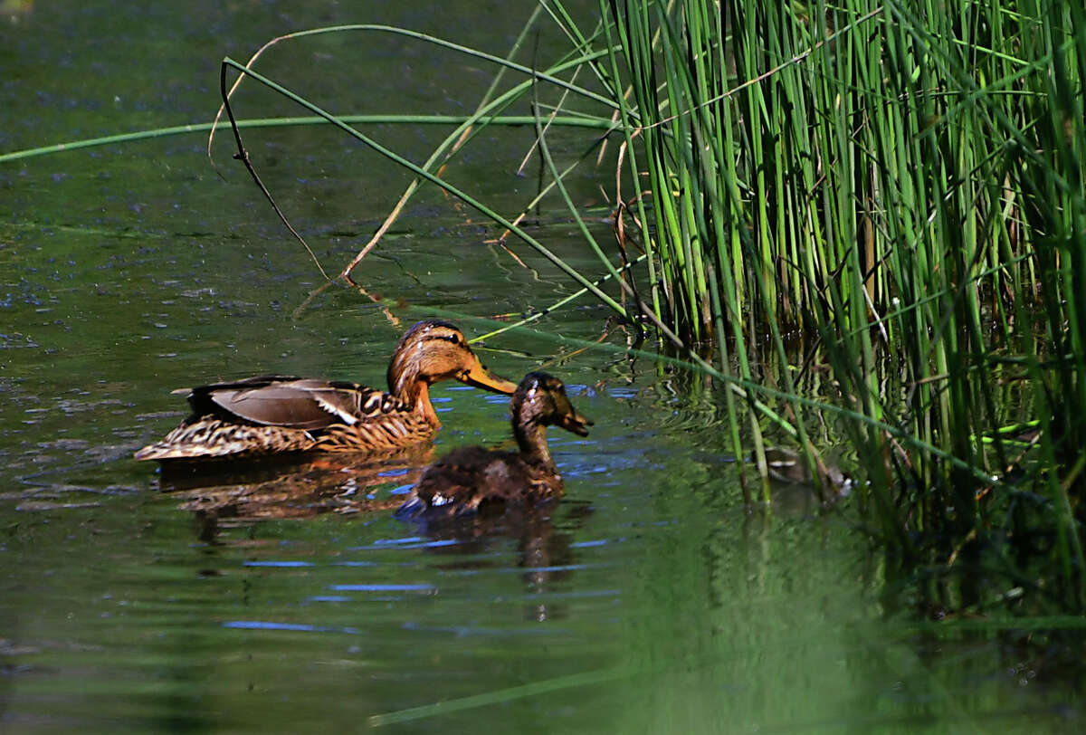 A couple of ducks look for food in wetlands near Siena College on Friday, June 28, 2019 in Loudonville, N.Y. (Lori Van Buren/Times Union)