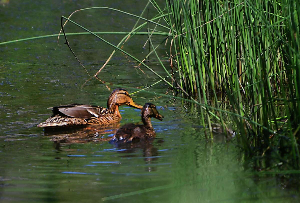 A couple of ducks look for food in wetlands near Siena College on Friday, June 28, 2019 in Loudonville, N.Y. (Lori Van Buren/Times Union)