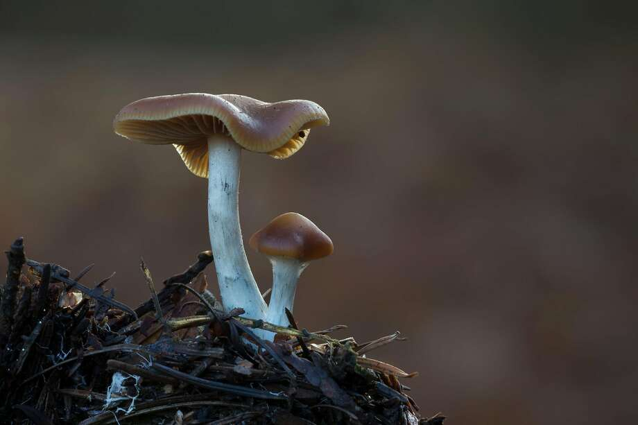 Psilocybe cyanescens (sometimes referred to as wavy caps) is a species of psychedelic mushroom. Photo: Alby DeTweede / Getty Images / IStockphoto