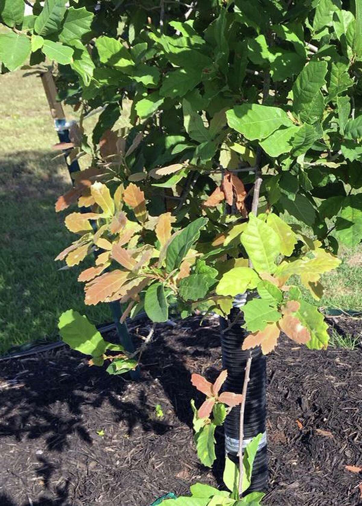 This is likely a very minor and very temporary nutrient deficiency that has probably already evened out in this Monterrey Oak.