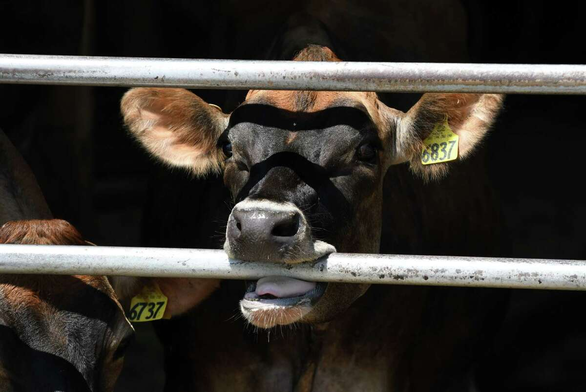 A Jersey dairy cow mouths the barn gate at Dutch Hollow Farm on Friday, June 28, 2019, in Schodack Landing, N.Y. (Will Waldron/Times Union)