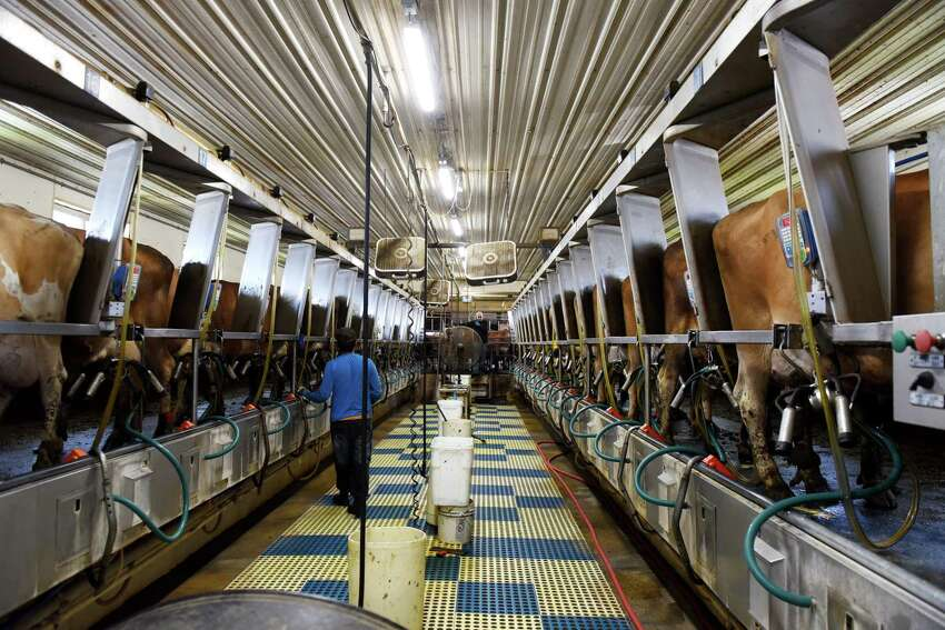 Cows are milked at Dutch Hollow Farm on Friday, June 28, 2019, in Schodack Landing, N.Y. (Will Waldron/Times Union)
