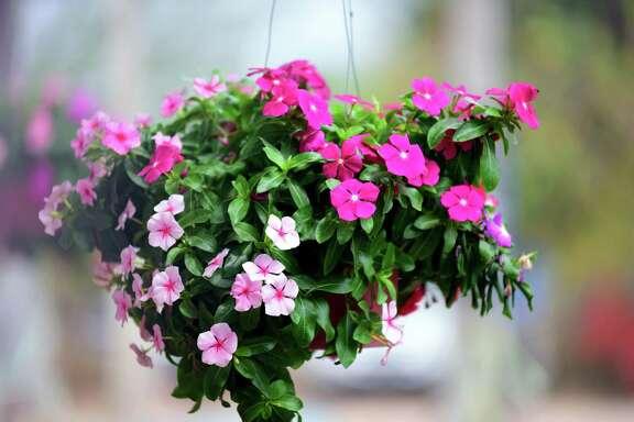 Vinca plants fill a hanging basket.