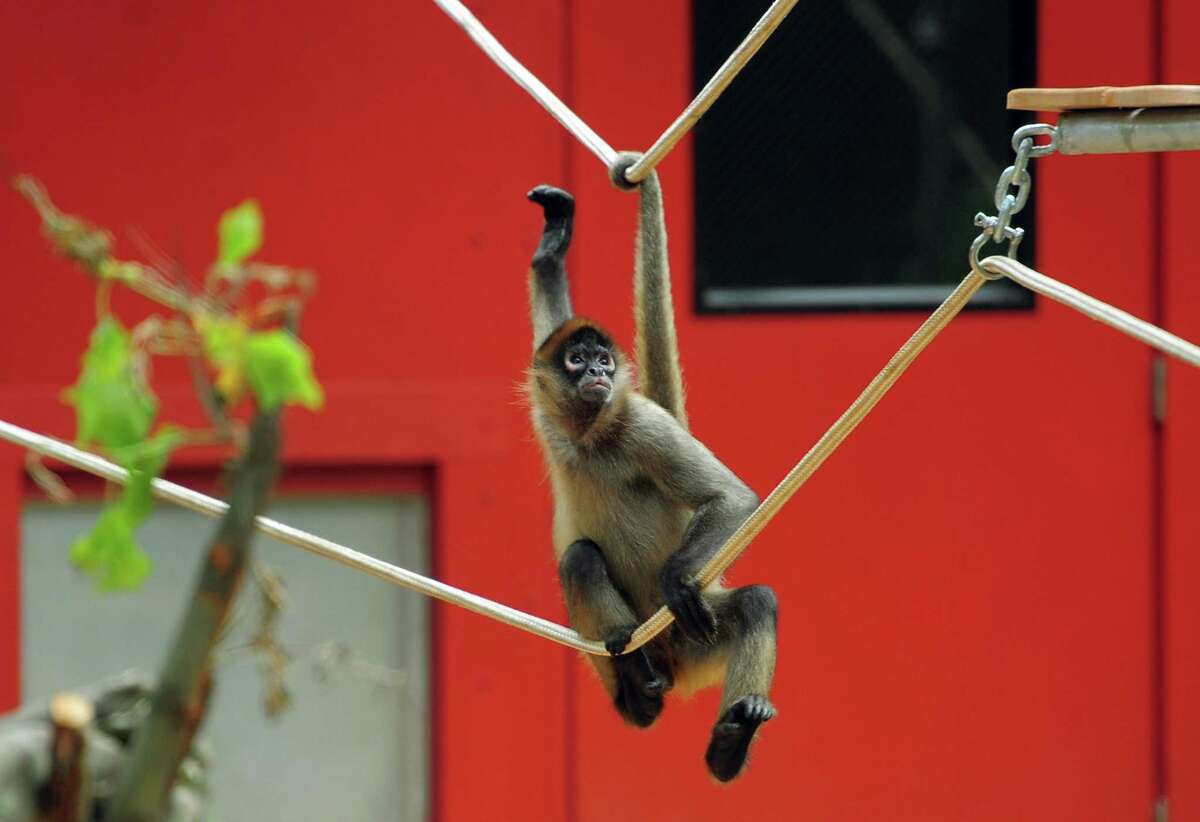 Gilligan, one of two Black-Handed Spider Monkeys are the newest residents at Beardsley Zoo in Bridgeport, Conn., on Saturday June 29, 2019. Gilligan, born in 2014, is joined by a female born in 2000 named TT (Short for Tina Turner) and have joined the zoo from the Henry Doorly Zoo and Aquarium in Omaha, Neb.