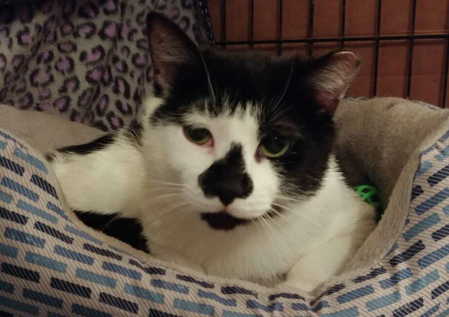 Eli, a feral cat who nearly lost his life after being struck by a car, was saved by Better Days Rescue Fund in Roxbury, which is raising funds to continue treatment for him and other rescues. Photo: Contributed Photo