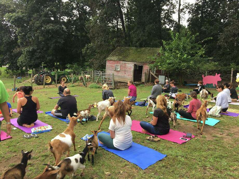 Flanders Nature Center in Woodbury is continuing to offer its popular goat yoga classes in July. Photo: Contributed Photo