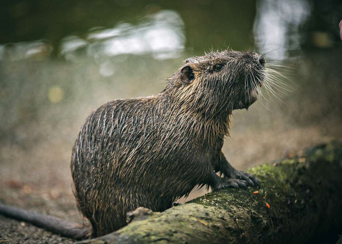 Nutria, also known as a swamp rat, is a semi-aquatic rodent native to South America. After being introduced to Louisiana its destructive feeding behaviors have made this invasive species a scourge of the swamp. This environmental struggle is the inspiration behind the documentary