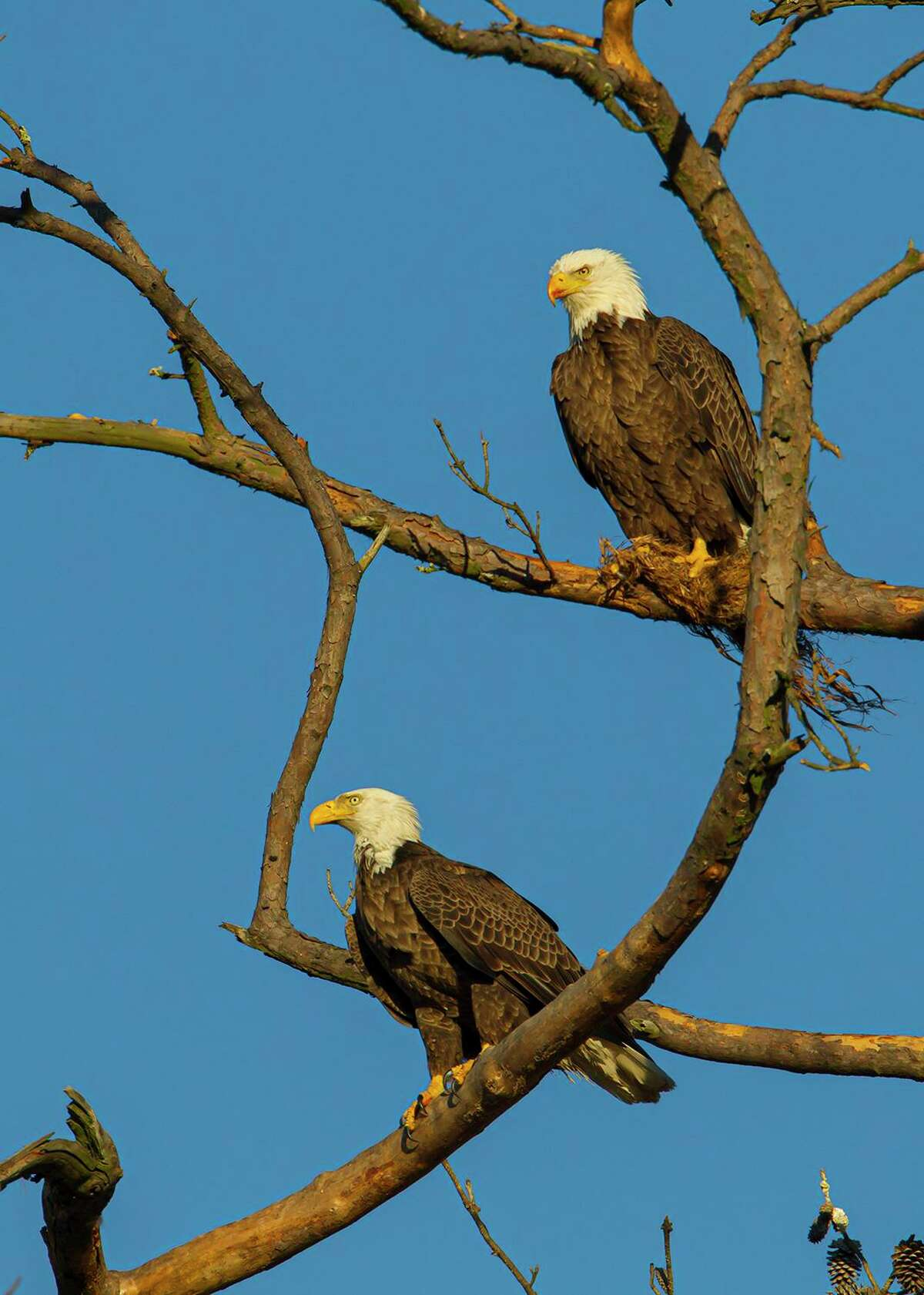 """Houston Audubon Society seeks your nomination for the """"Bird of Houston."""" Should it be the bald eagle in honor of the Apollo 11 moon landing? Photo Credit: Kathy Adams Clark Restricted use."""