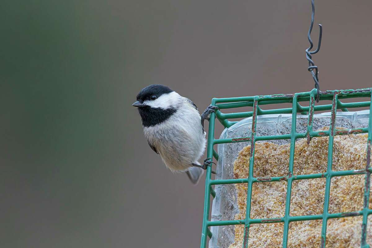 """Houston Audubon Society seeks your nomination for the """"Bird of Houston."""" Should it be the Carolina chickadee that visits feeders throughout the city? Photo Credit: Kathy Adams Clark Restricted use."""