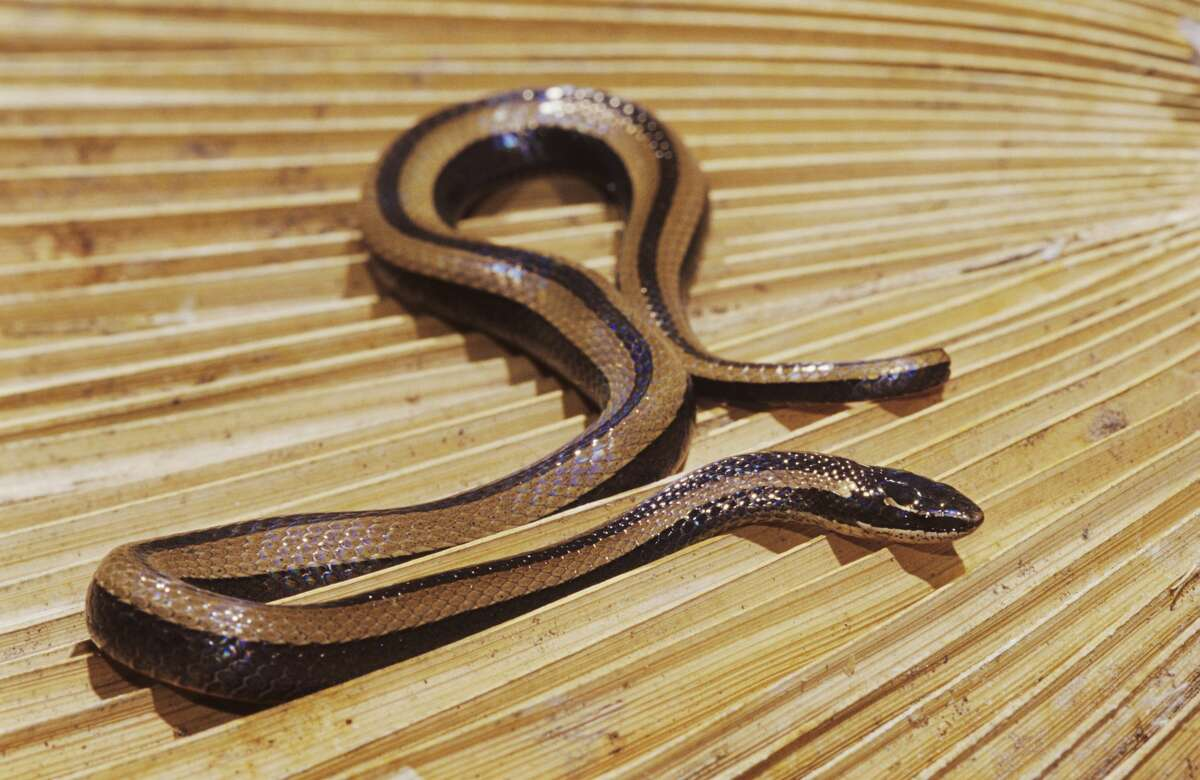 A Texas black-striped snake is pictured in this file photo.