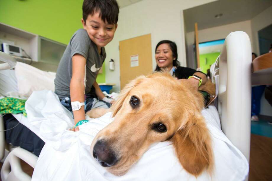 Cohen, a 19-month-old goldendoodle and golden retriever mix, is the first therapy dog to walk the halls of Texas Children's The Woodlands Hospital. Photo: Submitted Photo / Allen S. Kramer/TexasChildren's Hospital