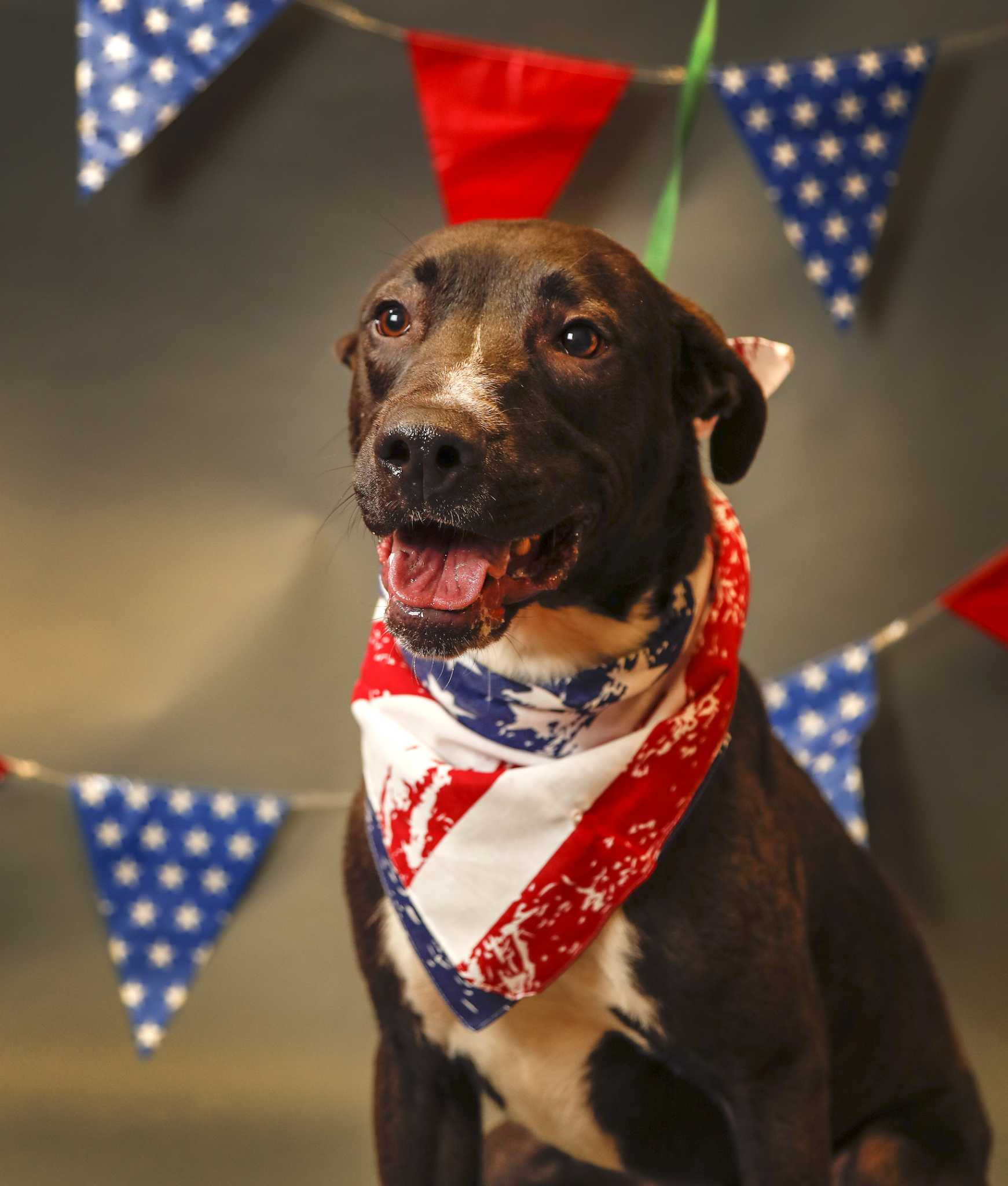 Meet Goober, A Lab-mix Stolen From Shelter, Returned By