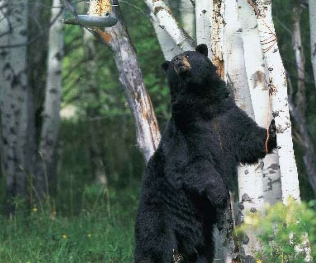 """In a post on the Monroe Police Department Facebook page, police offered a """"dos and don'ts"""" list, """"in light of recent black bear sightings in town."""""""