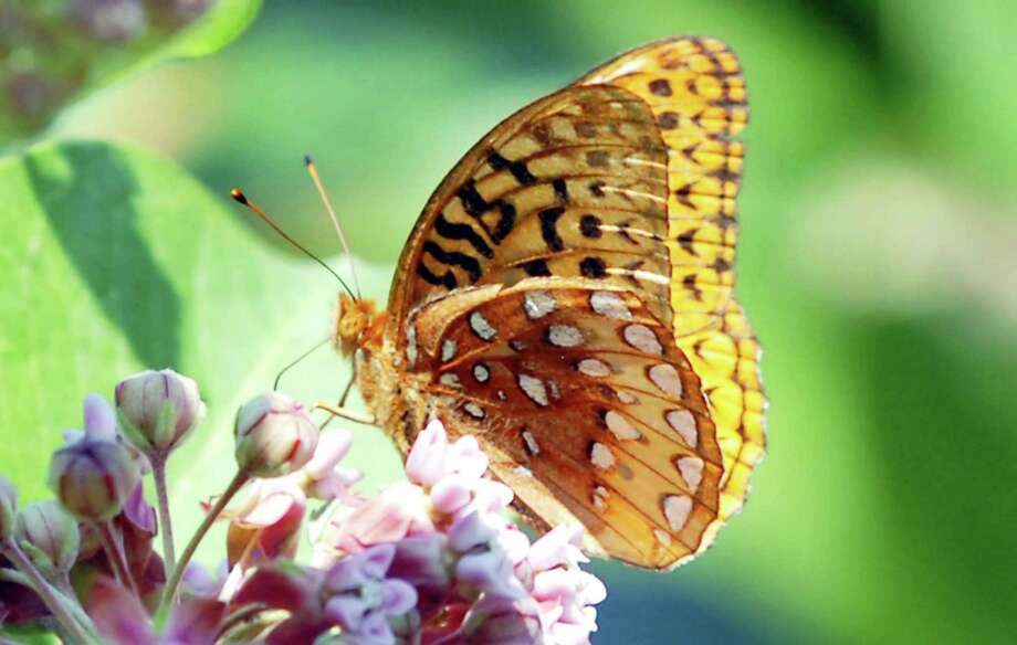 A Great Spangled Fritillary feasts upon the nectar of a flower at Audubon Greenwich during a previous annual Butterfly Count event. The center is inviting visitors to become a community scientist once again by participating in a nationwide census of North American butterflies July 6. Photo: Hearst Connecticut Media File Photo