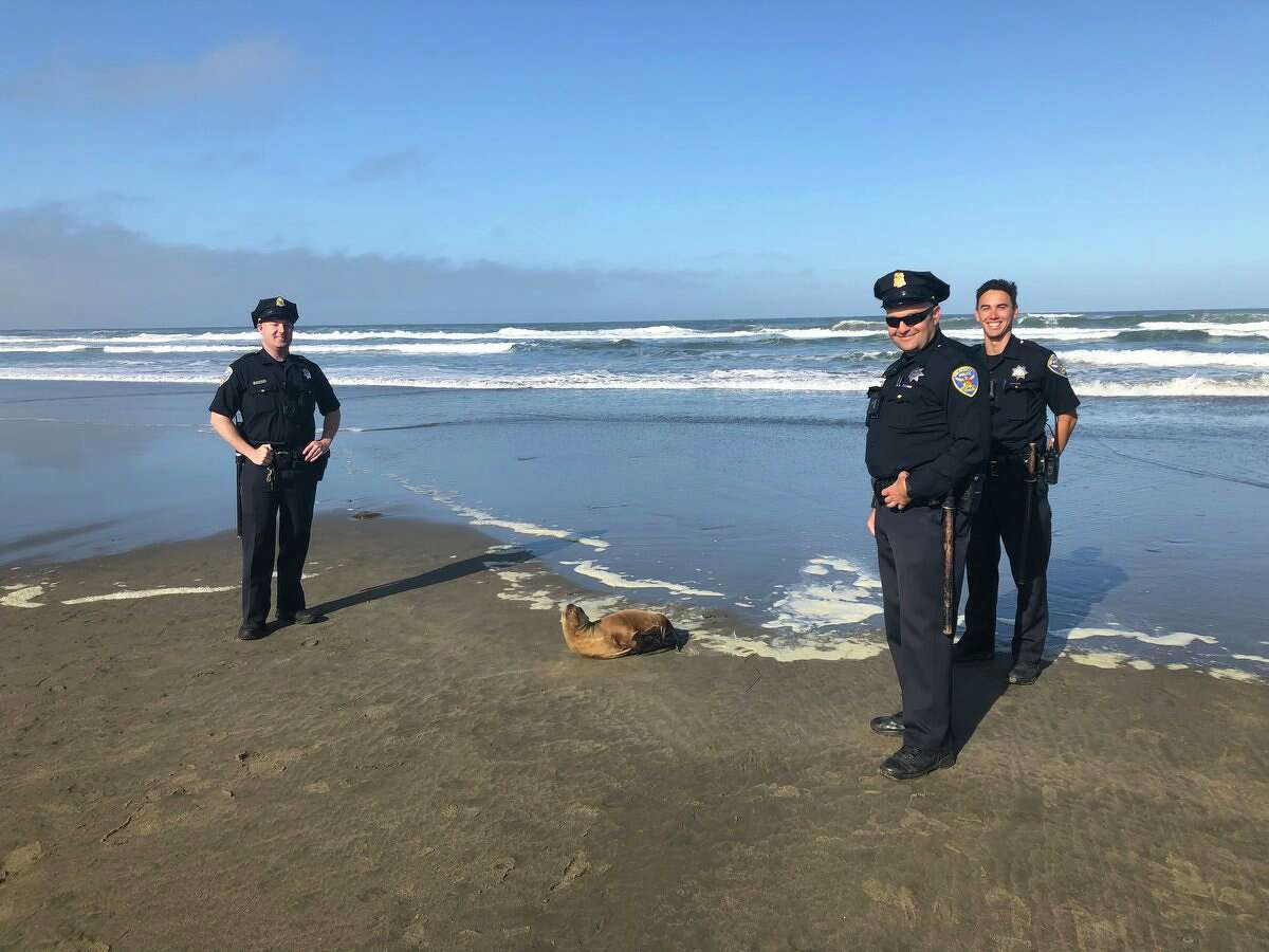 Police responded to reports of a sickly sea lion at Ocean Beach on Wednesday, July 3, 2019. Click through the gallery for more California animal stories.