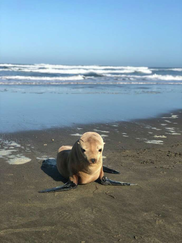 A sickly-looking sea lion was found alone at Ocean Beach on Wednesday, July 3, 2019. Photo: SFPD