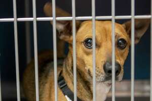 A puppy looks through the gate of his kennel Tuesday, June 18, 2019 at the Montgomery County Animal Shelter in Conroe.