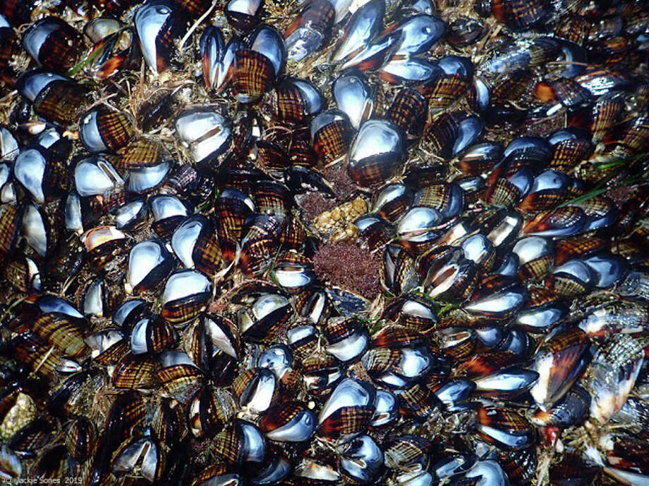 An early-June heat wave cooked mussels to death along the Northern California Coast. Photo: Courtesy Jacqueline Sones