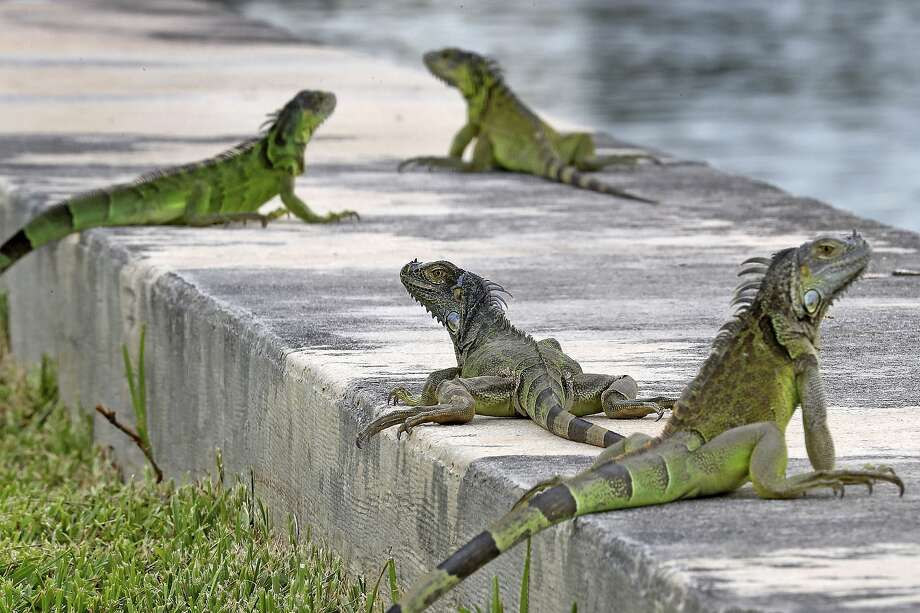 FILE - In this June 24, 2018, file photo, iguanas gather on a seawall in the Three Islands neighborhood of Hallandale Beach, Fla. Non-native iguanas are multiplying so rapidly in South Florida that a state wildlife agency is now encouraging people to kill them. A Florida Fish and Wildlife Conservation Commission news release says people should exterminate the large green lizards on their properties as well as on 22 public lands areas across South Florida. (Mike Stocker/South Florida Sun-Sentinel via AP) Photo: Mike Stocker, Associated Press