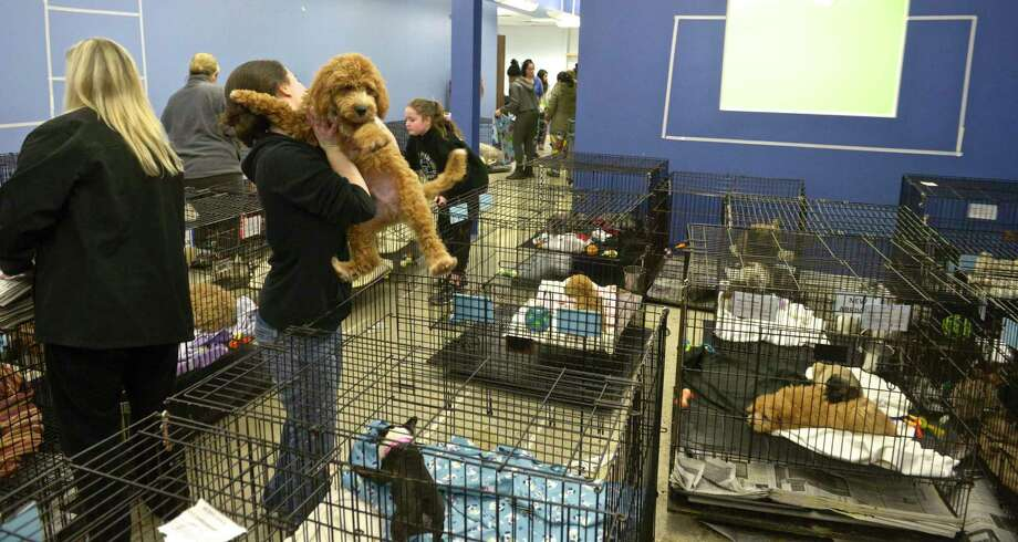 86 puppies from Puppy Love, 37 Lake Ave, in Danbury, were removed from the store and transfered to an empty storefront next door after a late night fire behind the store. Thursday, January 3, 2018, in Danbury, Conn. Photo: H John Voorhees III / Hearst Connecticut Media / The News-Times