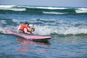 Cherie the surf dog catches a wave.