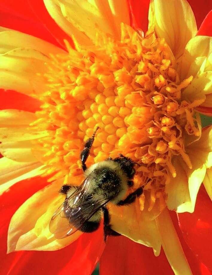 Carol Yeoman photographed Rusty Spotted Bumblebee.