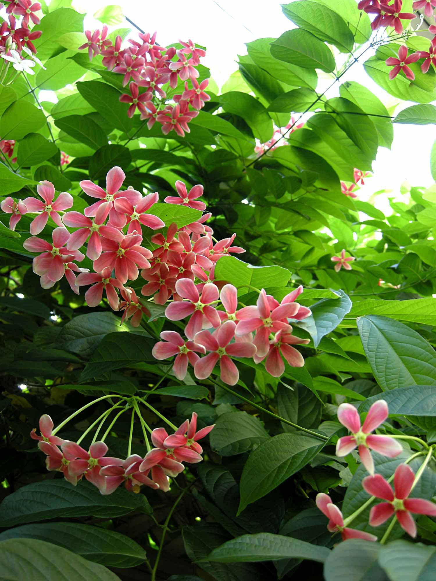 How To Keep Rangoon Creeper And Russelia Blooming