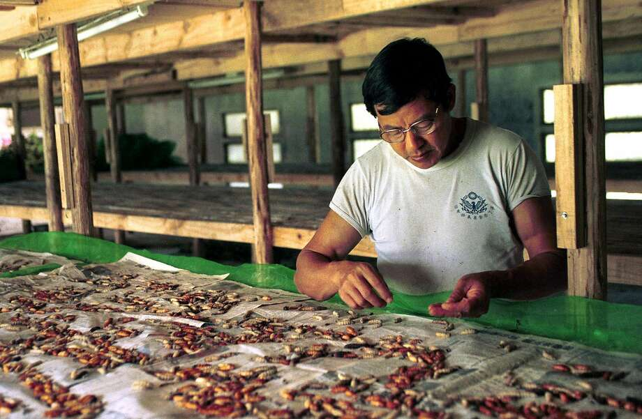 Tu Chuan-ming picks through silkworms as he ponders reasons for abandoning the family's silk business, Wednesday, Nov. 7, 2001, in the mountain town of Miaoli, 80 kilometers (50 miles) southeast of Taipei.  Tu realized long ago that Taiwan's joining the WTO, World Trade Organization, would mean that he would have to compete with silkworm farmers in China who can sell their cocoons at much cheaper prices. Taiwan is expected to start participating in the WTO in January 2002. Photo: Jerome Favre / Associated Press 2001