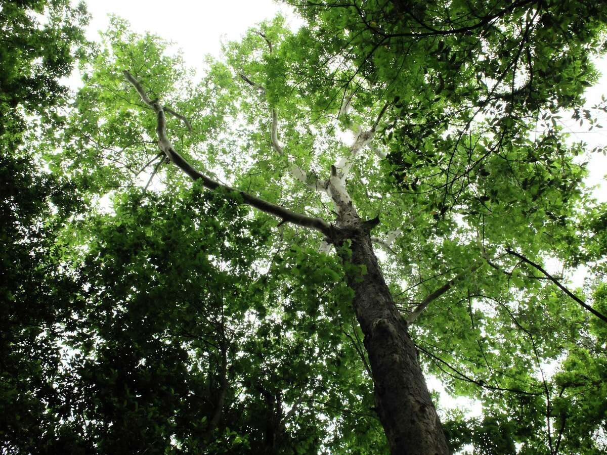 A champion sycamore towers above the restored ravine trail at the Houston Arboretum & Nature Center.