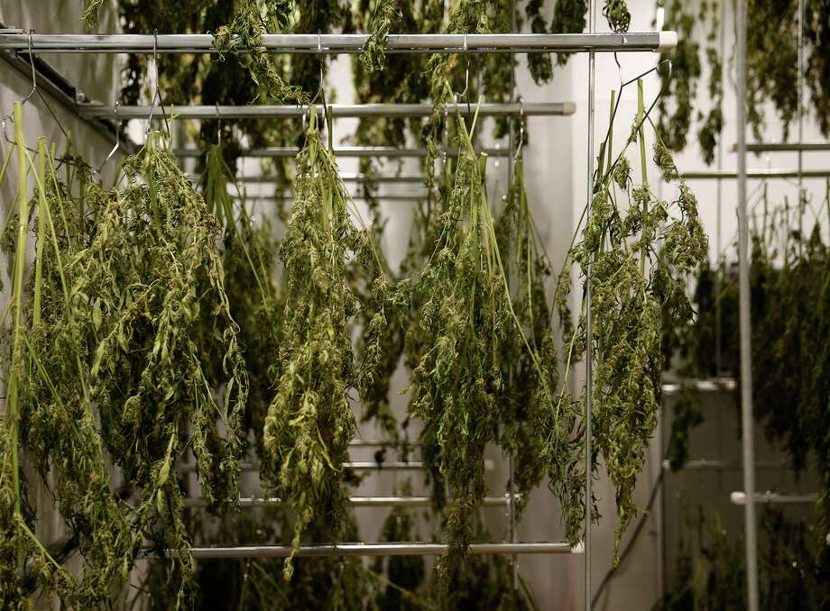 Branches of cannabis plants hung to dry at Compassionate Cultivation in Manchaca, Texas, on February 7, 2018. Compassionate Cultivation is a state-licensed medical cannabis cultivator and dispensary producing cannabidiol extract oil for patients under the Texas Compassionate Use Act. (Vernon Bryant/Dallas Morning News/TNS) Photo: Vernon Bryant, MBR / TNS / Dallas Morning News