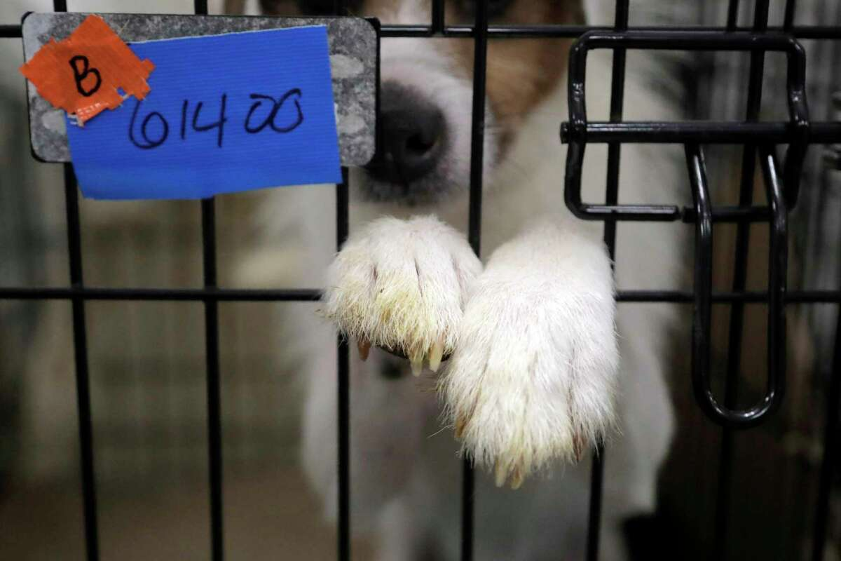 FILE- In this June 14, 2019, file photo a Parson Russell terrier sits in a kennel at St. Hubert's Animal Welfare Center after being treated in Madison, N.J. A pet?s torn knee ligaments or a broken leg that needs surgery could cost a few thousand dollars. Even stitches to close a bite wound after a scrap with another dog can cost several hundred dollars. Fortunately, pet insurance can defray some of these costs. But many U.S. pet owners don?t have it. (AP Photo/Julio Cortez, File)
