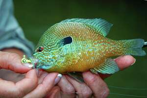 What longear sunfish might lack in size — Texas' record longear weighed barely a half-pound — they, like most of the dozen species of sunfish in the state, more than make up in appearance and aggressiveness.