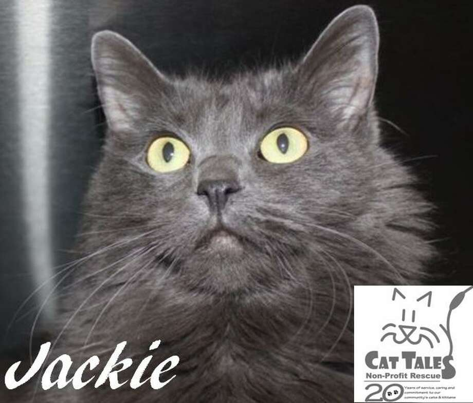 """Jackie is a 4-year-old gray long-haired female kitty. She says, """"Aren't I gorgeous? I was found in a local neighborhood as a stray eating Apple Jacks (that's how I got my name). I am a very sweet girl who loves attention. I love to be held when I'm in the mood. I'd do best with older children if you have them and I need to be the only pet. I'd love to cuddle up with you and play with you! Please adopt me."""" Visit http://www.CatTalesCT.org/cats/Willie, call 860-344-9043, or email info@CatTalesCT.org. Watch our TV commercial: https://youtu.be/Y1MECIS4mIc Photo: Contributed Photo"""