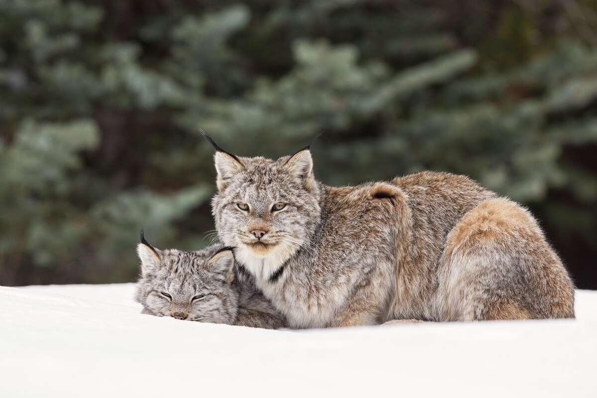 Clear-cutting Canada's boreal forest destroys key habitat for numerous species, including the Canada lynx.