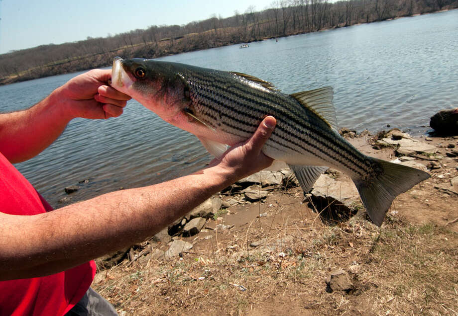 Joziano Desilva, of Danbury, shows off a striped bass he caught during the opening day of fishing season at Southbank Park along the Housatonic River in Shelton, Conn., on Saturday Apr. 14, 2018. Unfortunately, the bass was a few inches short of the regulation size. Christian Abraham / Hearst Connecticut Media / Connecticut Post