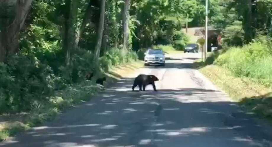 A bear sow was recorded crossing Simpaug Turnpike with her cubs Wednesday morning. — Brendan Gundersen/Contributed video
