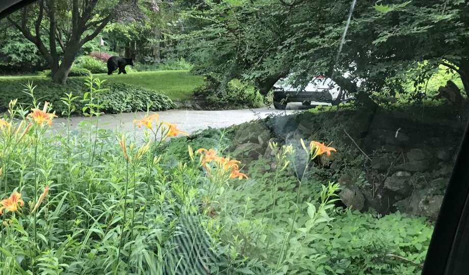 Ridgefield resident Ainsleigh Brezac took this photo of a bear on the move on Bennetts Farm Road near Knollwood Drive around 11:15 a.m. Sunday, June 30.