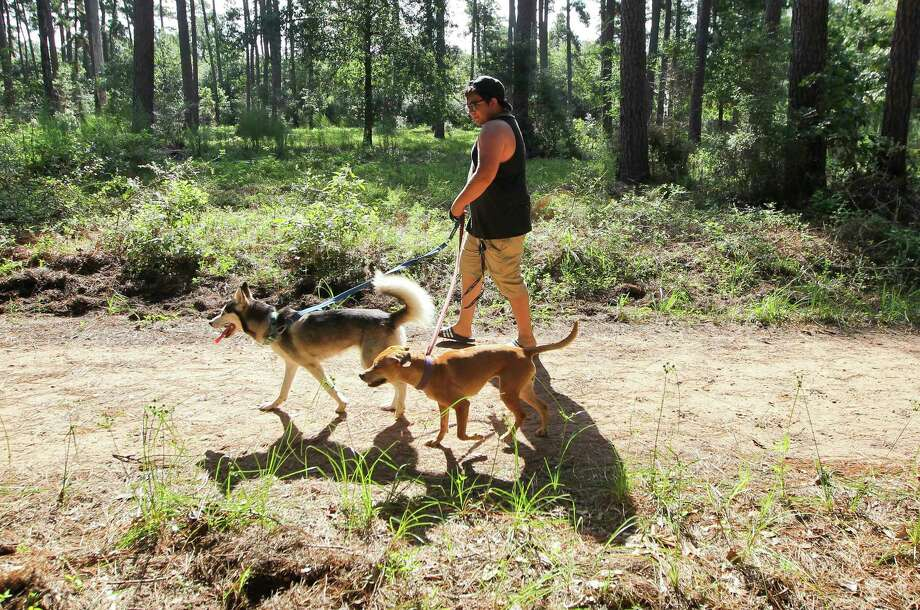 Gustavo Obregon walks his dogs through William Goodrich Jones State Forest, Tuesday, July 2, 2019, in Conroe. Photo: Jason Fochtman, Houston Chronicle / Staff Photographer / Houston Chronicle