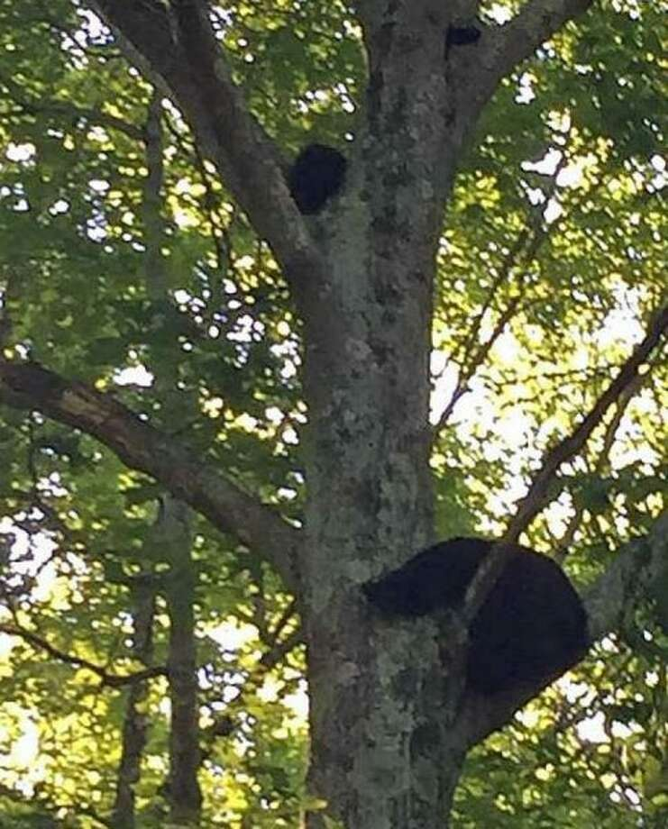 A mother bear and her two clubs closed access to Topstone Park on Thursday. Redding Police photo