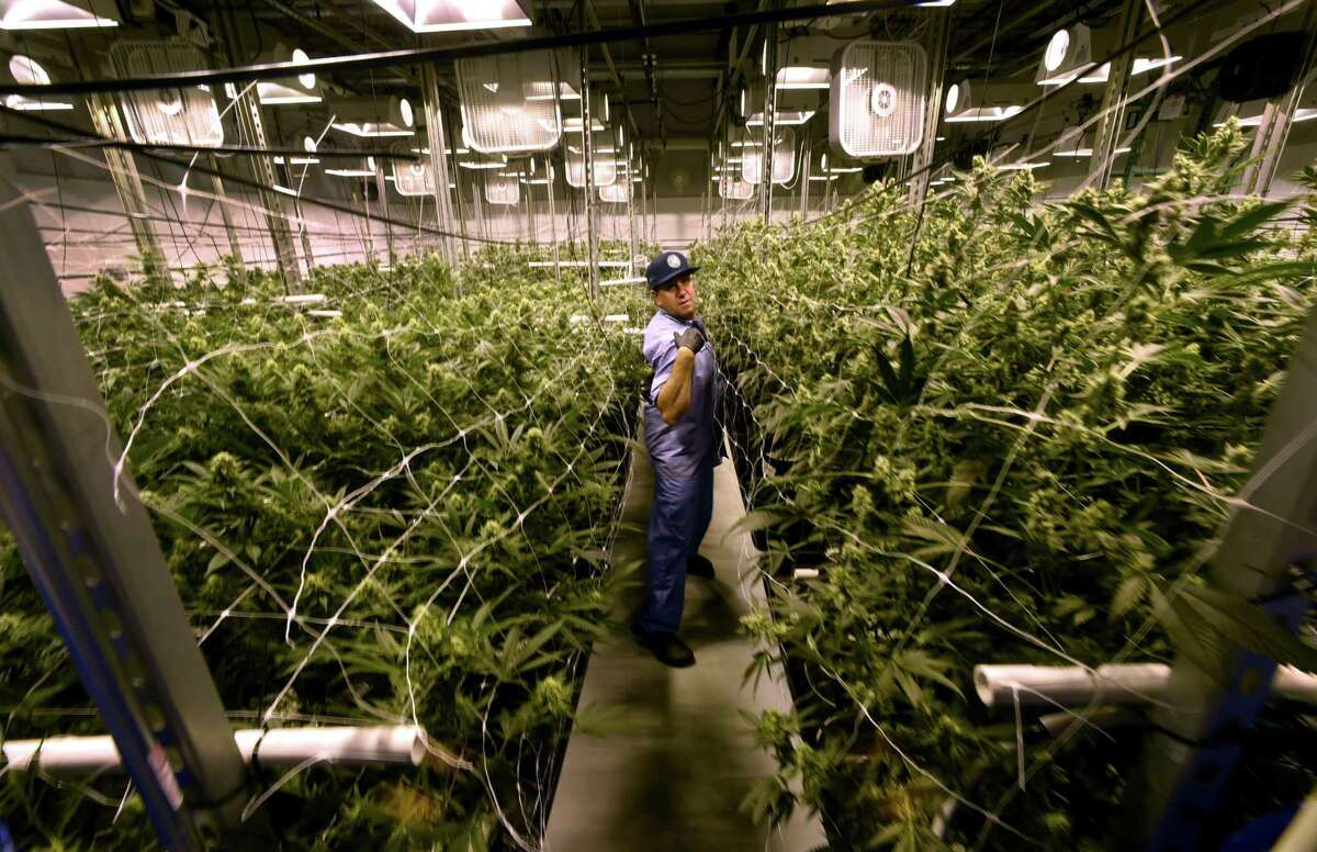 A file photo from inside Advanced Grow Labs, a medical marijuana production facility in West Haven.