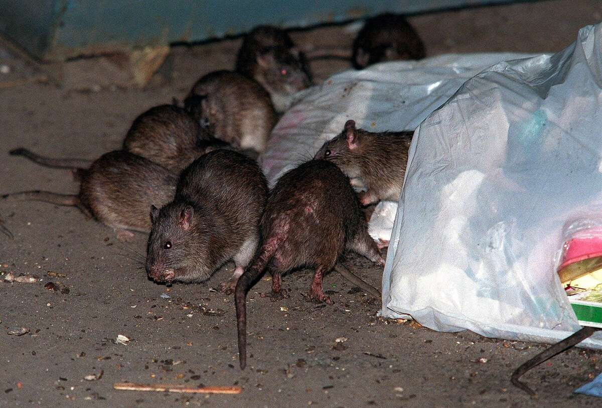 FILE--Rats swarm in and around a bag of garbage near a dumpster in the Baruch Houses in New York's Lower East Side in this July 7, 2000, file photo. On Wednesday, Nov. 29, 2000, academics, health officials and politicians gathered for a 'Rat Summit' to discuss ways to combat the city's burgeoning rodent population. (AP Photo/Robert Mecea, File) technology - hotlist:rats. HOUCHRON CAPTION (04/12/2001): Rats swarm around garbage near a Dumpster on New York's Lower East Side last year.
