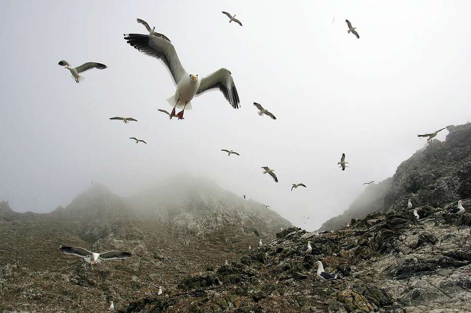 File - In this file photo from July 8, 2006, gulls hover over the rookery at the North Landing area of the Farallon Islands National Marine Sanctuary, Calif. Federal wildlife managers are considering putting rodenticide pellets on the Farallon Islands to rid the wildlife refuge of non-native house mice that threaten bird species there. But animal rights activists are opposing the plan, saying other creatures will eat the rodenticide and spread it through the food chain. (AP Photo/Ben Margot, file) Photo: Ben Margot / Associated Press 2006