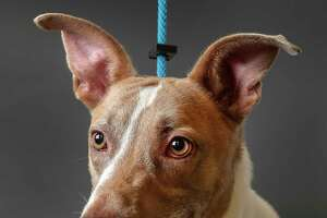 Champ is a 4-year-old, male, Shepherd/Retriever mix available for adoption at the Houston Humane Society, in Houston. (Animal ID: 39210025) Photographed  Tuesday, July 9, 2019.  Champ is being hailed as a hero at the Humane Society. While he was in the clinic for vaccines, a dog was brought in who was in critical condition and needed blood.  Champ met the criteria, including the proper type of blood, and donated blood. Champ was surrendered by his owner because they discovered that he is an alpha personality, who needs to be in a home by himself. He is a friendly and sweet dog.