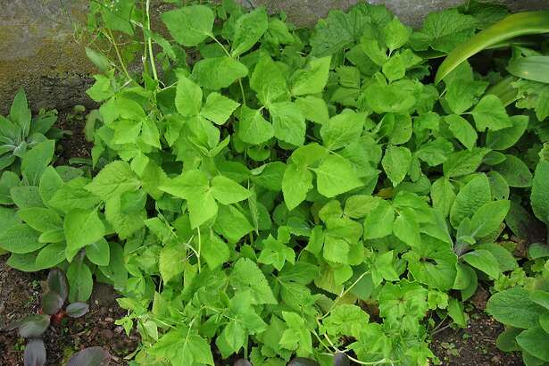 Mitsuba, or Japanese parsley, leaves add their graceful form and color to shady garden spots.