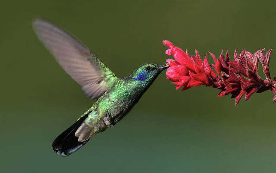 The annual Hummingbird Festival is planned 9 a.m. to noon Saturday, July 13, at the Lewis and Clark State Historic Site along Illinois 3 in Hartford. Photo: For The Intelligencer