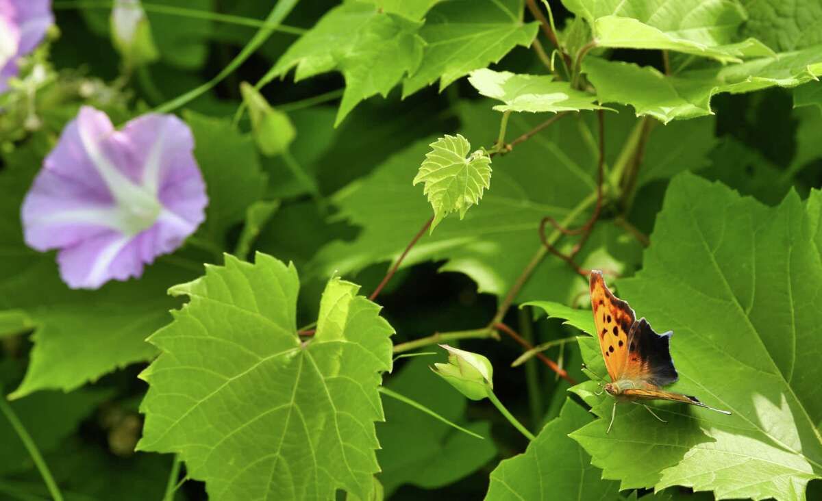 A butterfly rests on a leaf near the Hudson River on Thursday, July 11, 2019, in Albany, N.Y. (Paul Buckowski/Times Union)