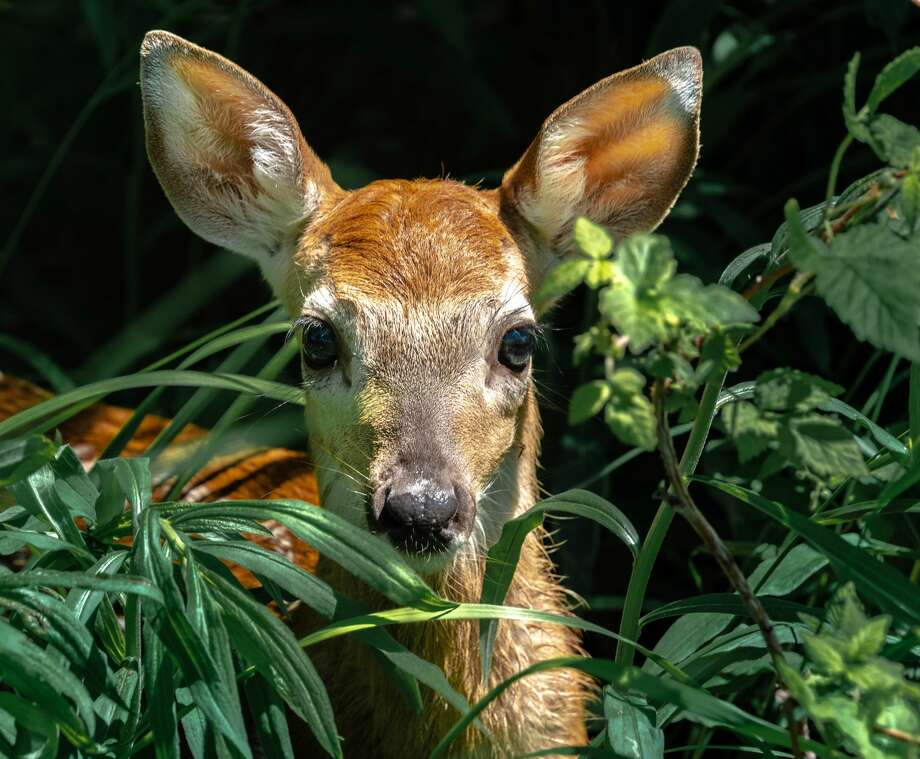 This fawn, who eventually won, had a five-minute staring contest with local photographer Tyler Leipprandt during their recent encounter in Sand Point. Photo: Tyler Leipprandt, Michigan Sky Media/For The Tribune