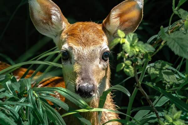 This fawn, who eventually won, had a five-minute staring contest with local photographer Tyler Leipprandt during their recent encounter in Sand Point.